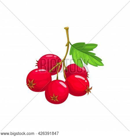 Hawthorn Berries Fruits, Food From Farm Garden And Wild Forest Isolated. Vector Hawthorn Berries Wit