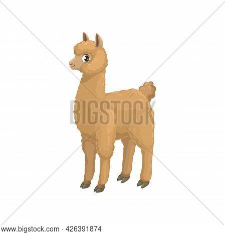 Llama Alpaca Isolated Cartoon Animal Of Camel Family, Hoofed Quanaco. Vector Beige Alpaca Or Lama, S