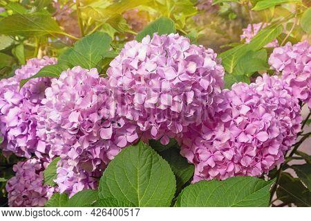 Pink Hydrangea Flowers - Hydrangea Macrophylla - In Garden On Sunny Summer Day