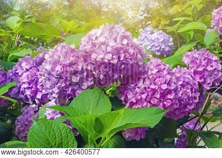 Pink Hydrangea Flowers - Hydrangea Macrophylla - In Park On Sunny Summer Day