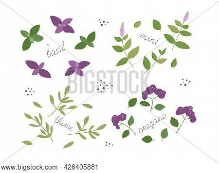 Set Of Spicy Fresh Herbs For Tasty Dishes And Natural Cosmetics. The Set Contains Basil, Mint, Thyme