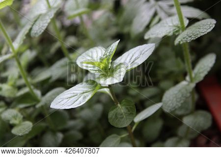 Medical Plant: Spearmint Scapes In Botanic Garden Close Up