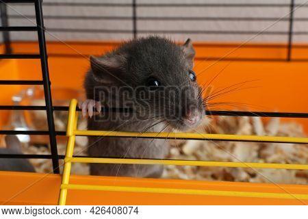 Cute Dark Grey Rat Escaping Cage, Closeup