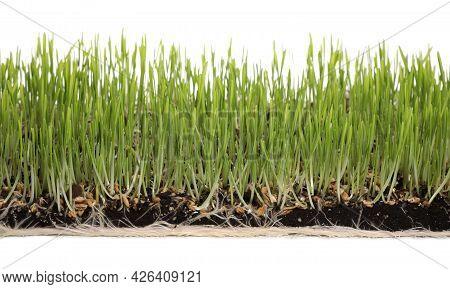 Soil With Lush Green Wheatgrass On White Background