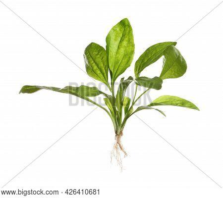 Broadleaf Plantain On White Background. Medicinal Herb