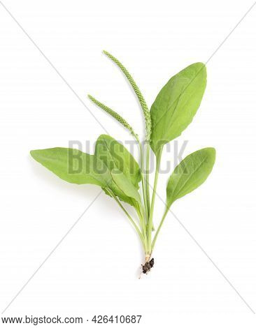 Broadleaf Plantain With Seeds On White Background, Top View. Medicinal Herb