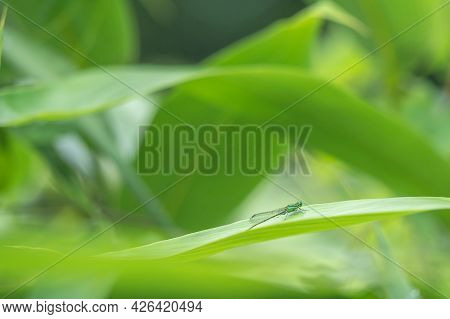 Dragonfly On A Green Leaf. Brilliant Emerald. Somatochlora Metallica. Lausanne, Switzerland. Beauty