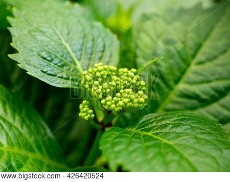 Close-up Of Green Hydrangea Leaves. The Flower Is Preparing To Bloom