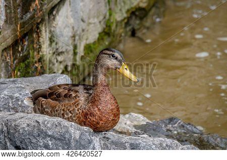 Mallard Duck. Anas Platyrhynchos. One Female Wild Duck On Rock Beside Water. Lausanne, Switzerland.