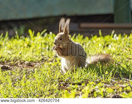 Large Portrait Of A Squirrel Sitting On The Green Grass In The Park On A Sunny Spring Day