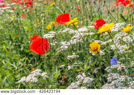 Closeup Of A Dutch Field Margin With Varied Flowers Sown For Insects And To Promote Biodiversity. Th