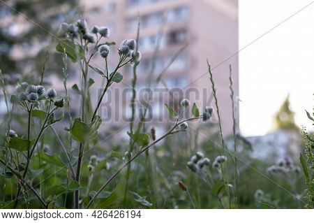 Perennial Burdock Plant With Sticky, Prickly Fruits, Against A Blurred Background Of A Multi-storey