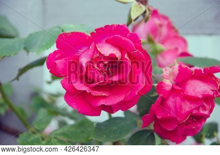 Pink Rose Flower With Raindrops On Background Pink Roses Flowers.