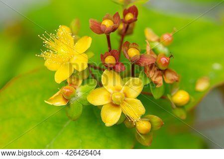 Hypericum Androsaemum Or Tutsan, Shrubby St. John's Wort , Or Sweet-amber Flowers In Summer Garden.