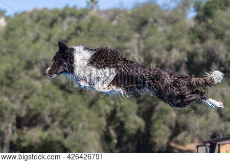 Black And White Border Collie With Water Flying Off His Coat After Jumping Off A Dock