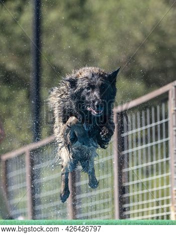 Dog Jumping Off A Dock Into A Pool While Spraying Off Water