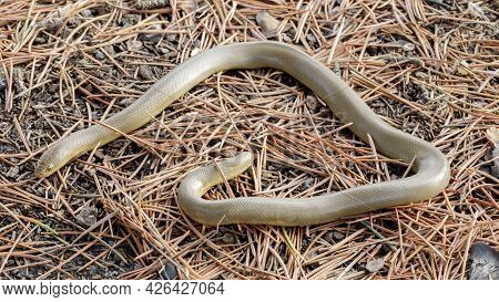 Forest Sharp-tailed Snake. Henry Cowell Redwoods State Park, Santa Cruz County, California, Usa.