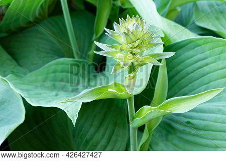 Flower Of Hosta. Blooming Hosta. Gardening.green Leaves Of Hosta.