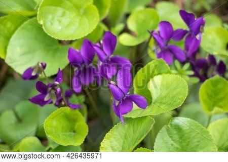 Wood Violet Viola Odorata. Wild Violet. Close Up