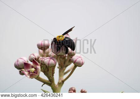 Black Bumblebee Sitting On The Ark Plant.