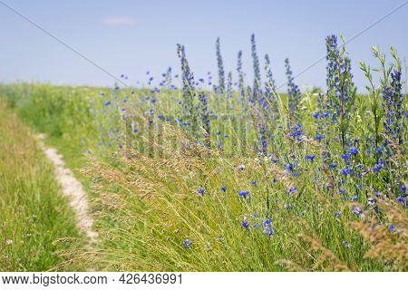 Flowers At The Roadside. Meadow Flowers And Herbs. Cornflower, Flower Of Arable Fields. Blue Wildflo