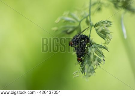 Pair Of Cluster Flies On The Blade Of Grass. Two Flies Mating, A Pair Of Flies, Isolated On Green Ba