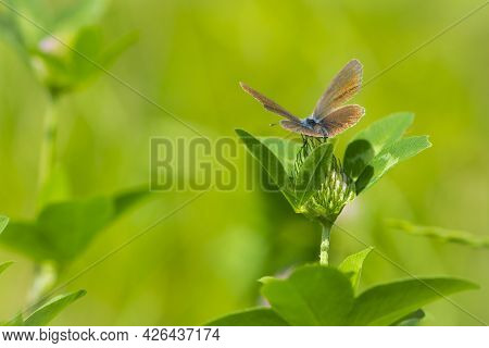 Polyommatus Icarus. Butterfly On Clover Flower. Common Blue Butterfly At Rest On Red Clover Flower.