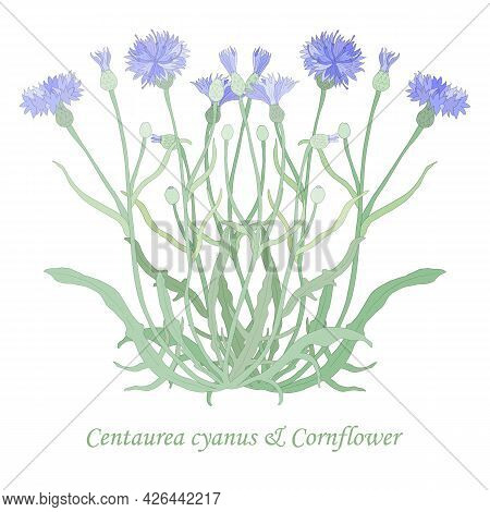 Hand Drawn Cornflower Or Centaurea Cyanus Isolated. Vibrant Cornflower With Color Fill And Thin Outl