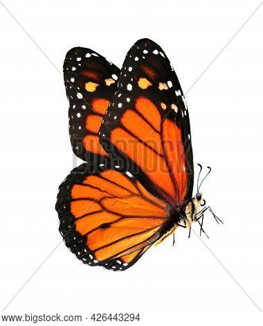 Colorful Monarch Butterfly Isolated On White Background,