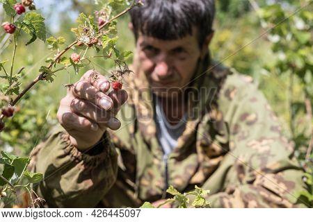 A Man Plucks A Ripe Red Raspberry From A Bush. Picking Raspberries. The Taste Of Summer, Gardening.