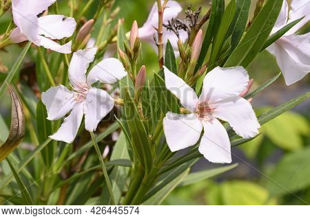 Oleander Very Nmice Colorful Summer Flower Close Up