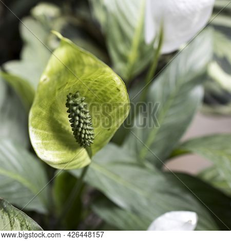 Green Spathiphyllum Is A Genus Of About 47 Species Of Monocotyledonous Flowering Plants In The Famil