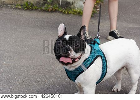 French Bulldog On A Walk In The City On A Leash And In A Harness, White And Black Bulldog, Dog Life,