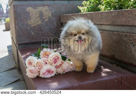 Pomeranian Puppy And A Large Bouquet Of Roses On A City Bench