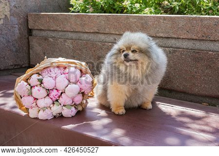 Pomeranian Puppy And  Bouquet Of Peonies