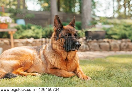 Portrait Of A German Shepherd Dog In A Garden. Purebred Dog Lying On The Grass In The Yard In Summer