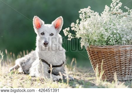 White Mongrel Dog Lying Down At Nature Near Basket With White Flowers
