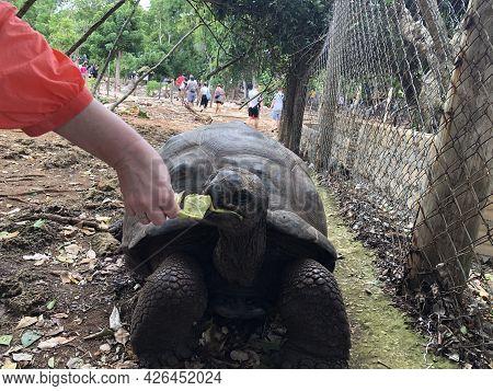 Girl Feeding A Giant Turtle On Changuu Island. Zanzibar, Tanzania.