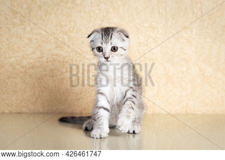 Gray Scottish Kitten Portrait On Beige Background.