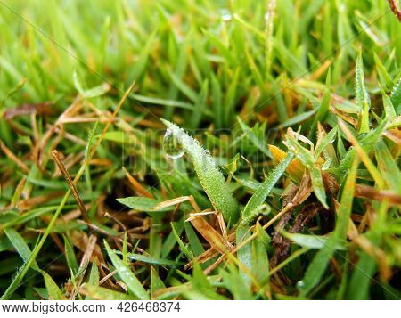 Macro Shot Of Dew Drops On The Bright Green Grass In The Morning.  Close Up Of A Fresh Green Grass W