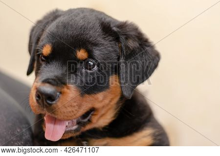 Defocused Portrait Of Two-month-old Rottweiler Puppy. Touching Close-up Of Animal Against Light Beig