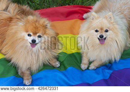 Two Happy Friends Pomeranian Spitz Dogs Lying On The Grass On Rainbow Lgbt Color Flag Smiling With T