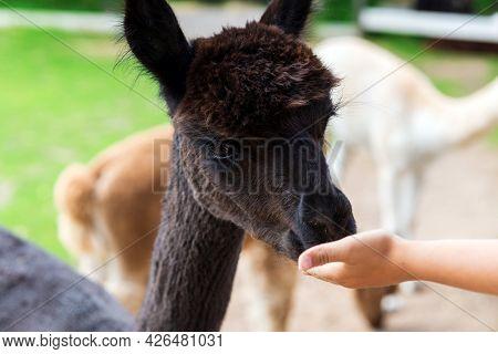 Boy Hand Feeding An Alpaca At A Farm Zoo In A Summer Day.kid Feeding Big Lama On An Animal Farm. Cut
