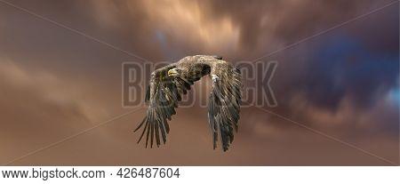 European Sea Eagle Flying In An Impressive Orange Blue Sky. Bird Of Prey In Flight. Flying Birds Of