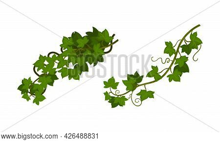 Evergreen Ivy Climbing Woody Plant Vector Set
