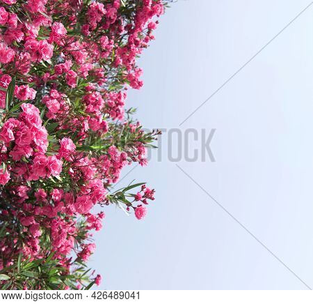 Close Up Pink Oleander Flowers With Green Leaves