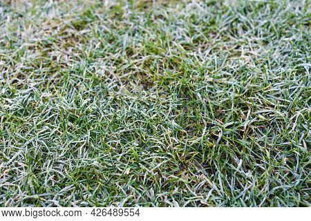 Frosted Lawn, Close-up Of Winter Morning Frost On Green Grass Shallow Depth Of Field