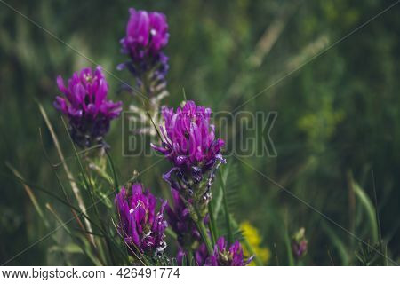 Blossoming Astragalus Onobrychis. Herbaceous Plant. Meadow Plants.
