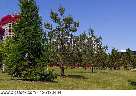 Green Lawn With Young Pine Trees In A City Park On A Summer Day. A Place For A Family Weekend Getawa