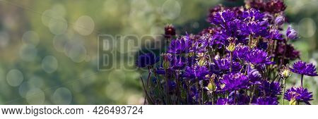 Nigella Damascena Early Summer Flowering Plant With Different Shades Of Blue Flowers On Small Green